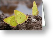 West Virginia Greeting Cards - Pink-edged Sulphur Greeting Card by Randy Bodkins