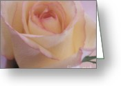 Single Rose Greeting Cards - Pink Edges Rose Greeting Card by Marsha Heiken