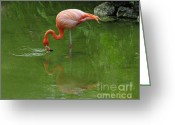 Cindy Longhini Greeting Cards - Pink Flamingo Greeting Card by Cindy Lee Longhini