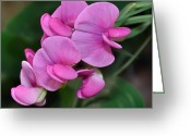 Roze Greeting Cards - Pink flowering Peavine Greeting Card by Ruud Morijn