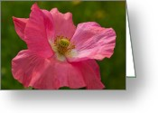 Roze Greeting Cards - Pink flowering Poppy blowing in the wind Greeting Card by Ruud Morijn