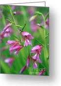 Purple Garden Greeting Cards - Pink flowers of Gladiolus Communis Greeting Card by Frank Tschakert