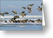 Ice-floe Greeting Cards - Pink-footed Geese On An Ice Floe Greeting Card by Duncan Shaw
