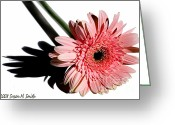 Susan M. Smith Greeting Cards - Pink Gerbera Greeting Card by Susan Smith