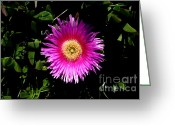 Succulents Greeting Cards - Pink Ice Plant Flower . carpobrotus edulis succulent . 7D15070 Greeting Card by Wingsdomain Art and Photography