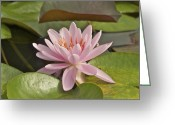 Water Lilly Greeting Cards - Pink Lotus Flower Greeting Card by Michael Peychich