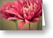 Wayne Greeting Cards - Pink Mum Flowers Greeting Card by Jody Trappe Photography