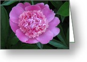 Christine Hafeman Greeting Cards - Pink Peony Greeting Card by Christine Hafeman