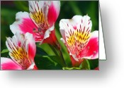 Lilies Greeting Cards - Pink Peruvian Lily 2 Greeting Card by Amy Fose