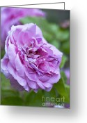 Purples Greeting Cards - Pink Rose Flower Greeting Card by Frank Tschakert