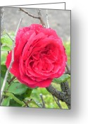 Creative Passages Photo Greeting Cards - Pink Rose Fresh From Rain Greeting Card by Cassandra Donnelly