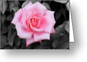 Fragrant Flowers Greeting Cards - Pink Rose Greeting Card by Jai Johnson