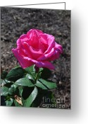 Thorn Greeting Cards - Pink Rose Greeting Card by Luke Moore
