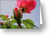 Roze Greeting Cards - Pink Roses Greeting Card by Saajid Abuluaih