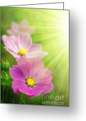 Sunshine Daisy Greeting Cards - Pink Spring Greeting Card by Carlos Caetano