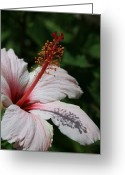 Beauty Love Greeting Cards - Pink Tropical Hibiscus Greeting Card by Sharon Mau