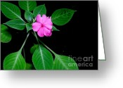 Vinca Flowers Greeting Cards - Pink Vinca - 1 Greeting Card by Mary Deal