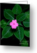 Vinca Flowers Greeting Cards - Pink Vinca - 2 Greeting Card by Mary Deal