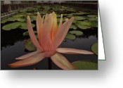 Lily Pad Greeting Cards Greeting Cards - Pink Water Lily Greeting Card by Chad and Stacey Hall