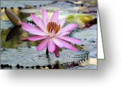 Hawaiian Pond Greeting Cards - Pink Water Lily in the Morning Greeting Card by Sabrina L Ryan