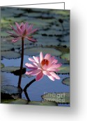 Hawaiian Pond Greeting Cards - Pink Water Lily in the Spotlight Greeting Card by Sabrina L Ryan
