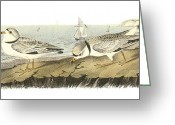 Lithograph Greeting Cards - Piping Plover Greeting Card by John James Audubon