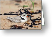 Tony Greeting Cards - Piping Plover Greeting Card by Tony Beck