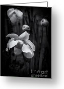 Pitcher Greeting Cards - Pitcher Plant Flower Greeting Card by Wenata Babkowski