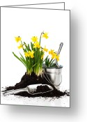 Garden Pots Greeting Cards - Planting Daffodils Greeting Card by Christopher Elwell and Amanda Haselock