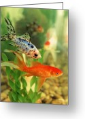 Goldfish Greeting Cards - Playing Chase Greeting Card by Jan Amiss Photography