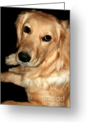 Mammal Photograph Greeting Cards - Pleading Golden Retriever Greeting Card by Susan Stevenson