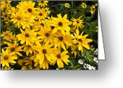 Black Eyed Susans Greeting Cards - Please Dont Eat the Daisies Greeting Card by Bill Cannon
