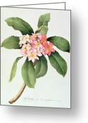Georg Greeting Cards - Plumeria Greeting Card by Georg Dionysius Ehret