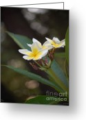 ; Maui Greeting Cards - Plumeria II Greeting Card by Robert Meanor