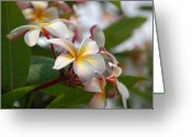 Big Island Greeting Cards - Plumerias Greeting Card by Kelly Wade