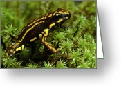 Black Cloud Greeting Cards - Poison Dart Frog Epipedobates Greeting Card by Pete Oxford