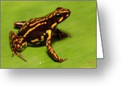 Black Cloud Greeting Cards - Poison Dart Frog Epipedobates Sp New Greeting Card by Pete Oxford
