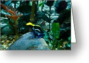 Poison Greeting Cards - Poison Dart Frog Poised for Leap Greeting Card by Douglas Barnett
