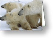 Resting Animals Greeting Cards - Polar Bear And Two Large Cubs Sniffing Greeting Card by Norbert Rosing