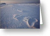 Ursus Maritimus Greeting Cards - Polar Bear Tracks On Sea Ice Greeting Card by Paul Nicklen