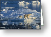 Ice-floe Greeting Cards - Polar Bear Ursus Maritimus Adult Greeting Card by Rinie Van Meurs