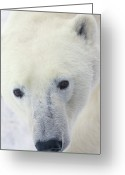 Ursus Maritimus Greeting Cards - Polar Bear Ursus Maritimus Close-up Greeting Card by Matthias Breiter