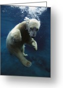Ursus Maritimus Greeting Cards - Polar Bear Ursus Maritimus Cub Greeting Card by San Diego Zoo