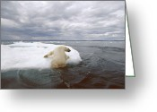 Ursus Maritimus Greeting Cards - Polar Bear Ursus Maritimus Hauling Greeting Card by Flip  Nicklin