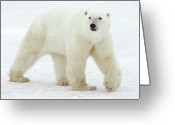 Carnivores Greeting Cards - Polar Bear Ursus Maritimus Male Greeting Card by Matthias Breiter
