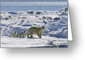 Ursus Maritimus Greeting Cards - Polar Bear Ursus Maritimus Mother Greeting Card by Konrad Wothe