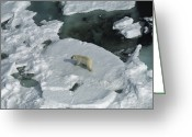 Ursus Maritimus Greeting Cards - Polar Bear Ursus Maritimus On Ice Greeting Card by Flip Nicklin