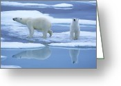 Ice-floe Greeting Cards - Polar Bear Ursus Maritimus Pair On Ice Greeting Card by Rinie Van Meurs