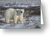 Ursus Maritimus Greeting Cards - Polar Bear Ursus Maritimus Portrait Greeting Card by Konrad Wothe