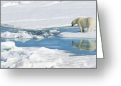 Number Circle Greeting Cards - Polar Bear, Ursus Maritimus Greeting Card by Ralph Lee Hopkins